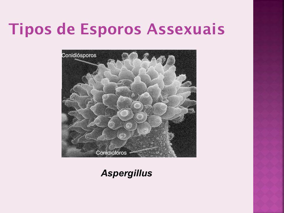 Tipos de Esporos Assexuais