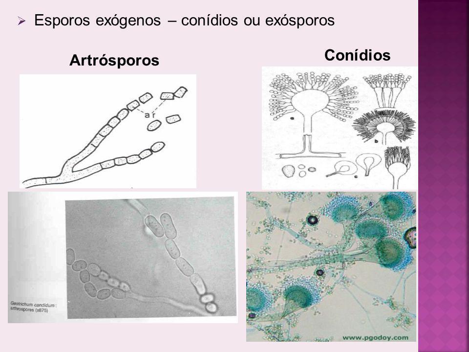 Esporos exógenos – conídios ou exósporos