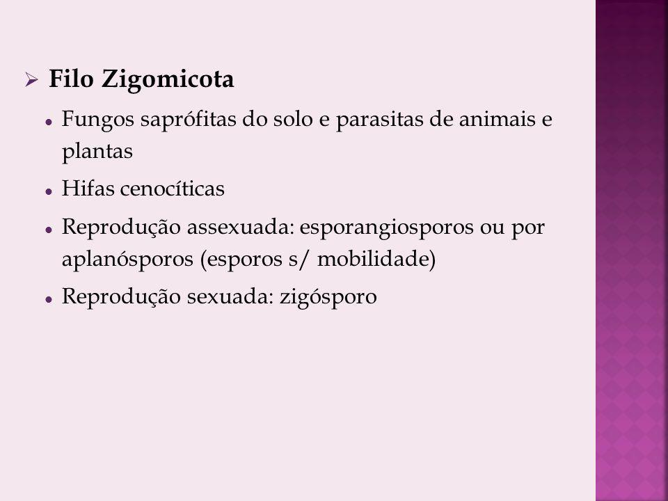 Filo Zigomicota Fungos saprófitas do solo e parasitas de animais e plantas. Hifas cenocíticas.