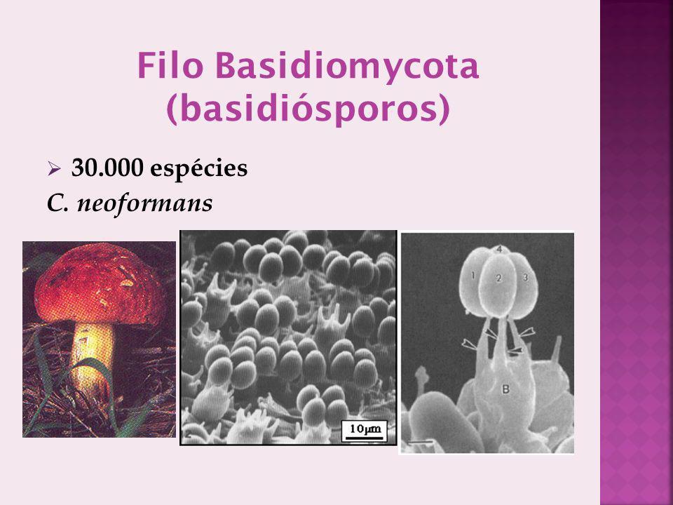 Filo Basidiomycota (basidiósporos)