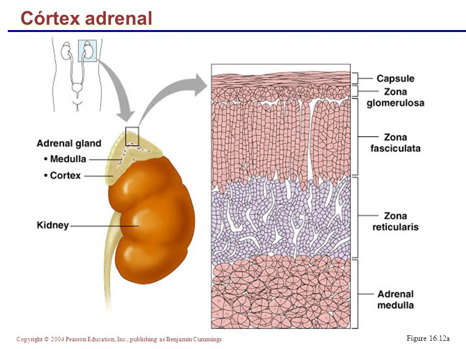 Córtex adrenal Figure 16.12a
