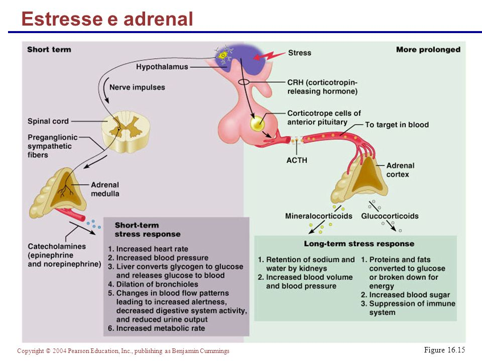Estresse e adrenal Figure 16.15
