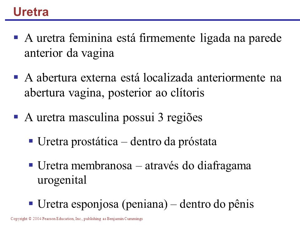A uretra feminina está firmemente ligada na parede anterior da vagina