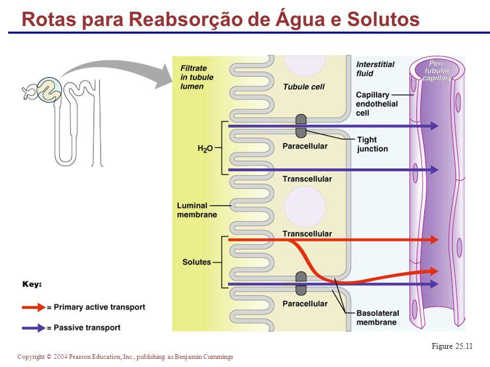 Rotas para Reabsorção de Água e Solutos