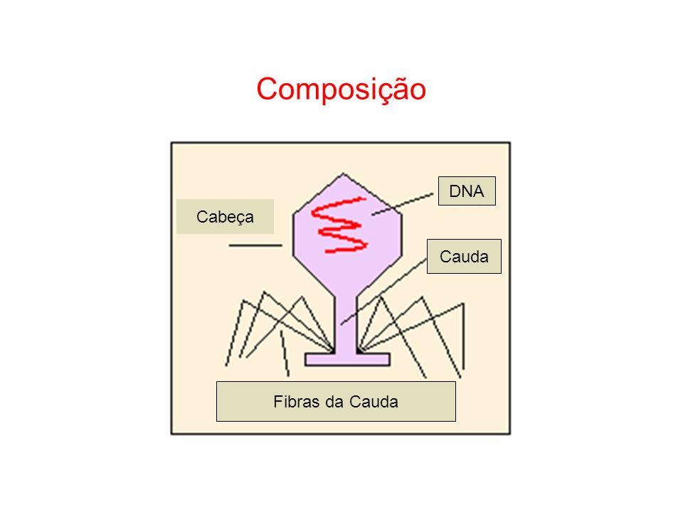 Composição DNA Cabeça Cauda Fibras da Cauda