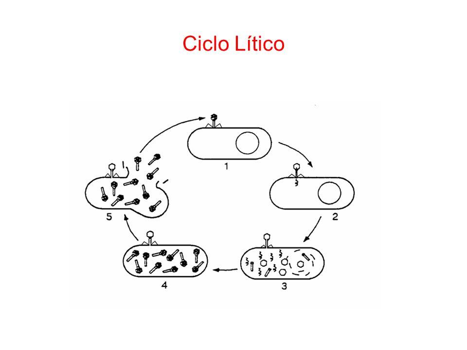 Ciclo Lítico