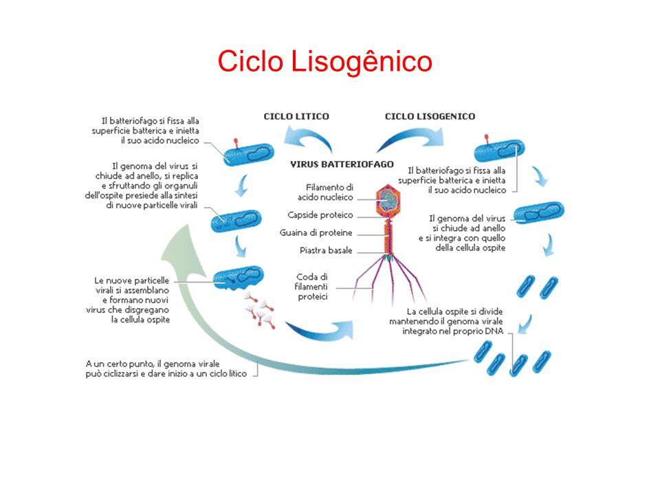 Ciclo Lisogênico