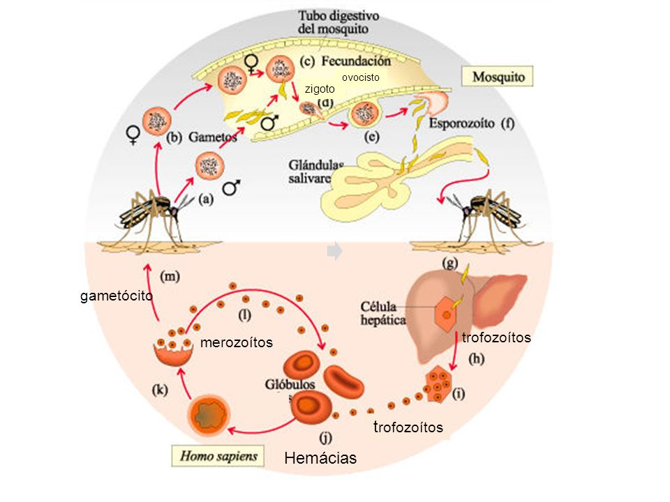 ovocisto zigoto gametócito trofozoítos merozoítos trofozoítos Hemácias