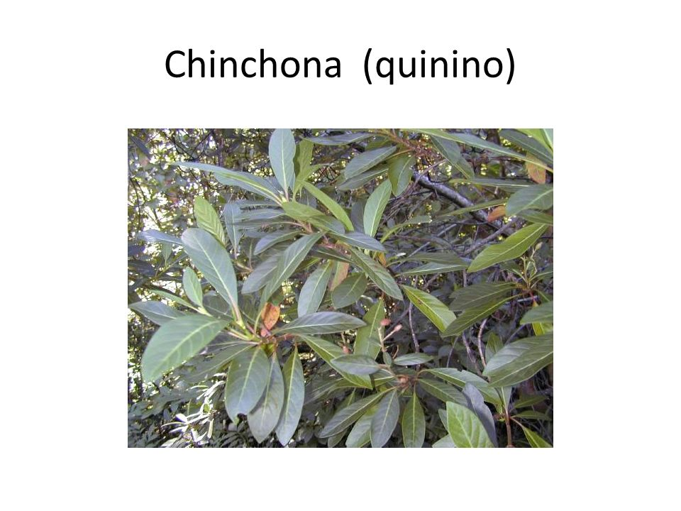 Chinchona (quinino)