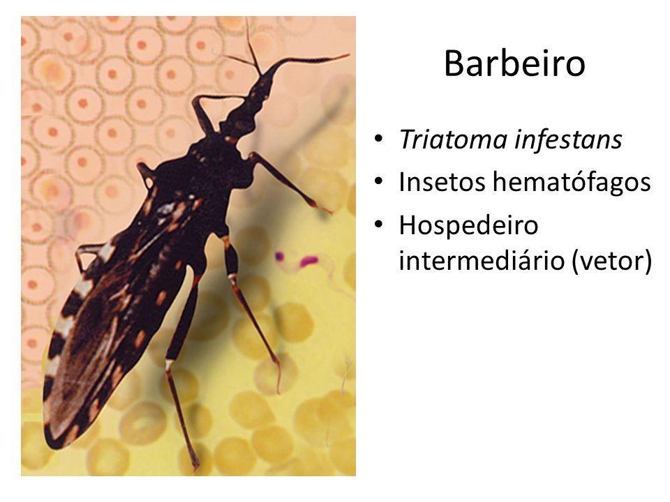 Barbeiro Triatoma infestans Insetos hematófagos