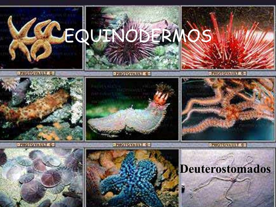 EQUINODERMOS Deuterostomados