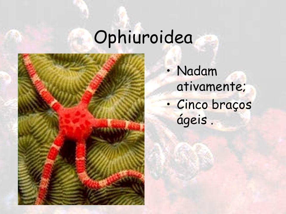 Ophiuroidea Nadam ativamente; Cinco braços ágeis .