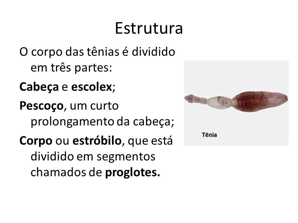 Estrutura O corpo das tênias é dividido em três partes: