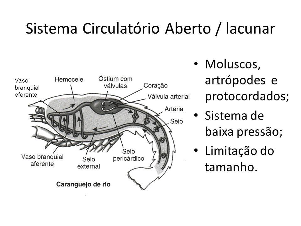 Sistema Circulatório Aberto / lacunar