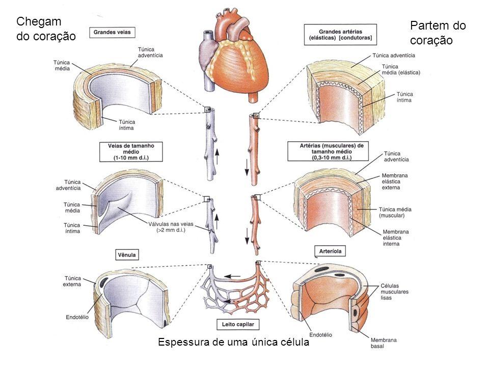 Chegam do coração Partem do coração Espessura de uma única célula