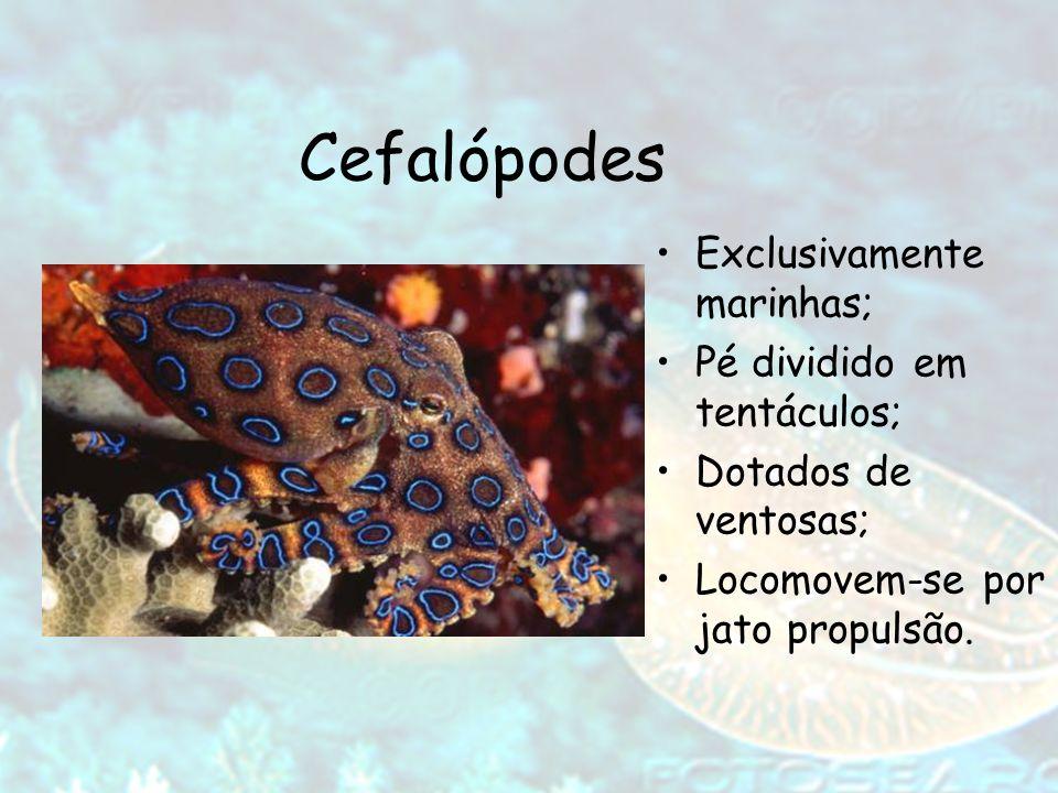 Cefalópodes Exclusivamente marinhas; Pé dividido em tentáculos;