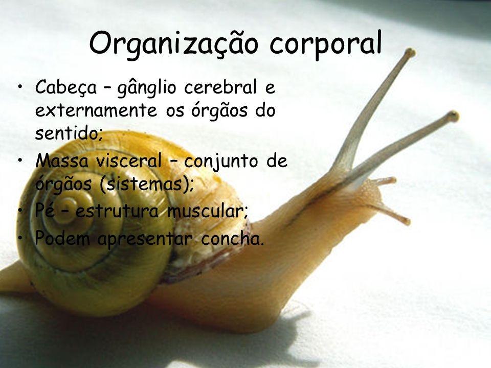 Organização corporal Cabeça – gânglio cerebral e externamente os órgãos do sentido; Massa visceral – conjunto de órgãos (sistemas);