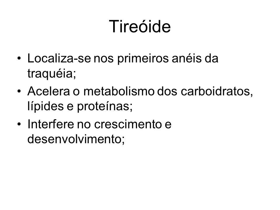 Tireóide Localiza-se nos primeiros anéis da traquéia;