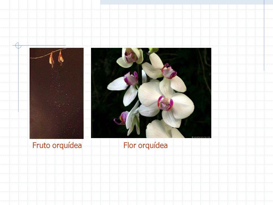 Fruto orquídea Flor orquídea