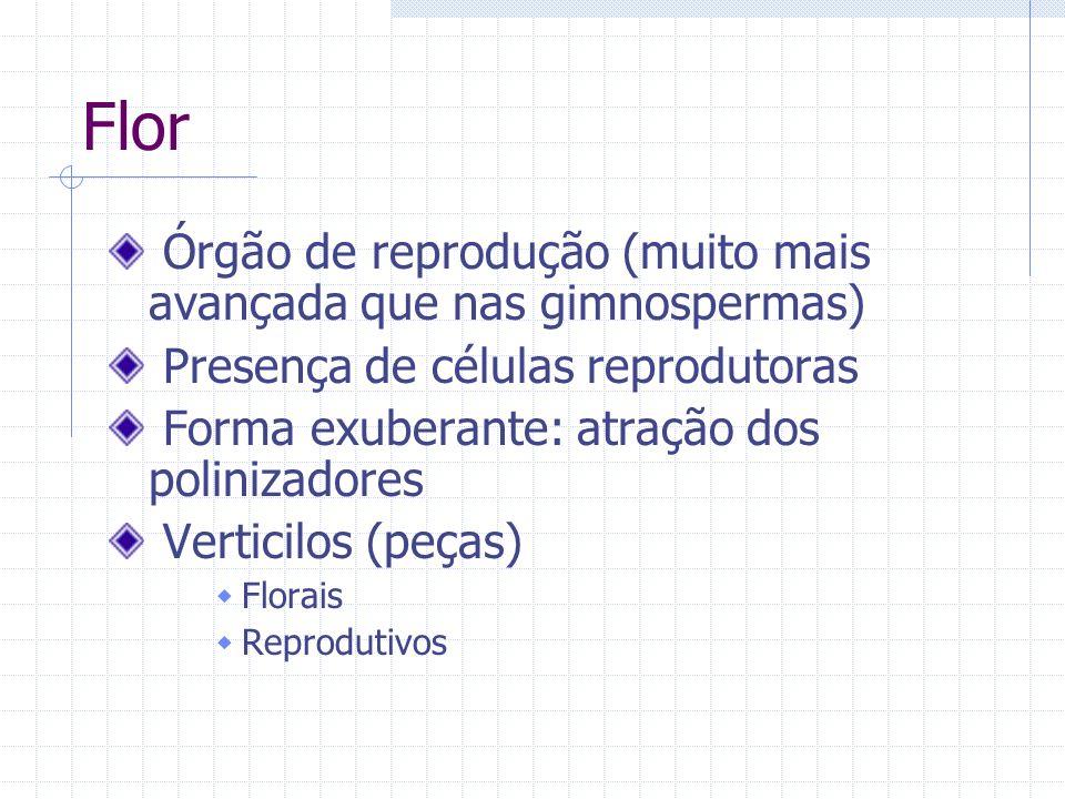 Flor Órgão de reprodução (muito mais avançada que nas gimnospermas)
