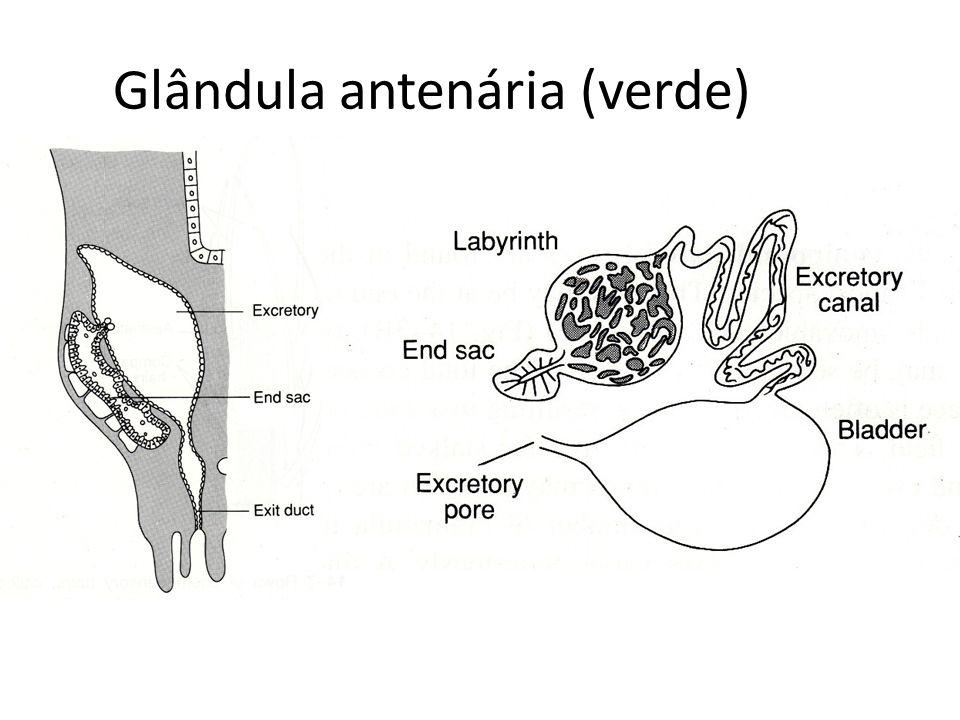 Glândula antenária (verde)