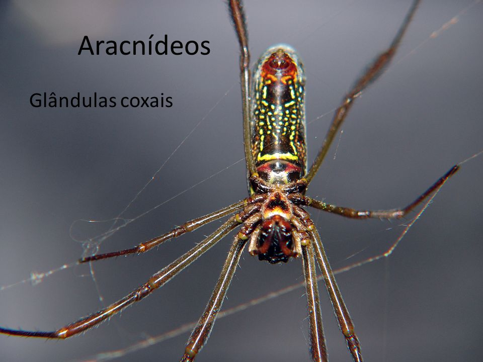 Aracnídeos Glândulas coxais