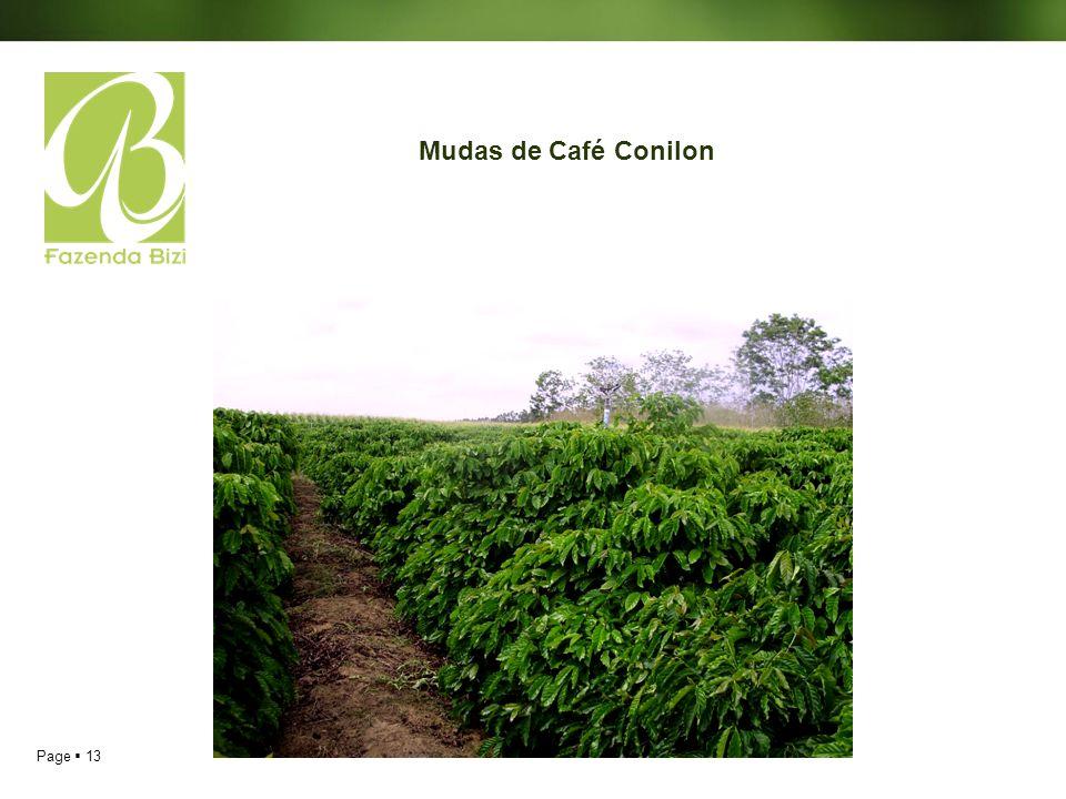 Mudas de Café Conilon