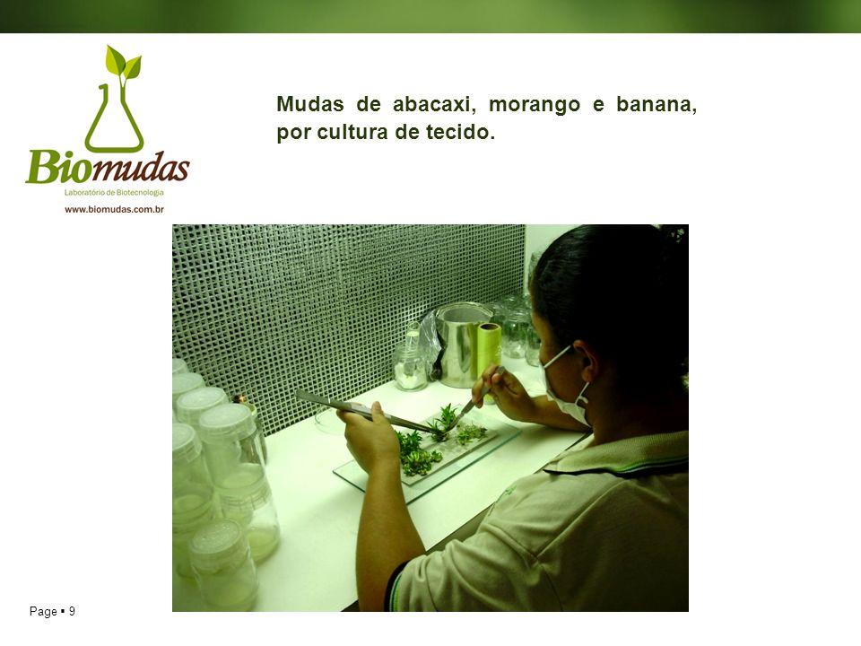 Mudas de abacaxi, morango e banana, por cultura de tecido.