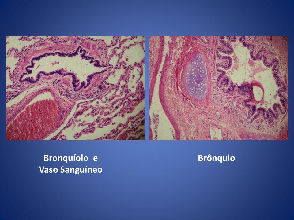 Bronquíolo e Vaso Sanguíneo