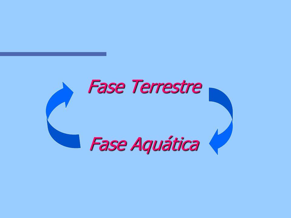 Fase Terrestre Fase Aquática