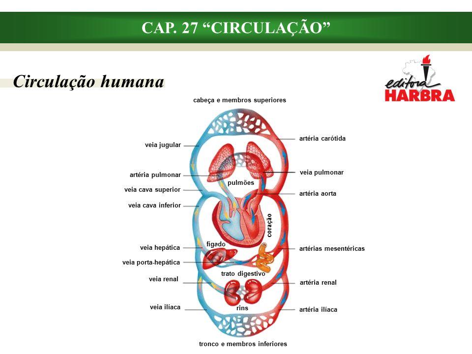 Circulação humana CAP. 27 CIRCULAÇÃO cabeça e membros superiores