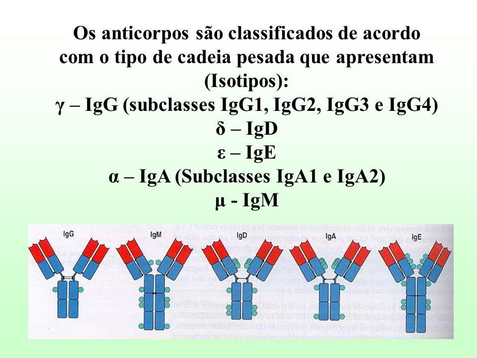 Os anticorpos são classificados de acordo