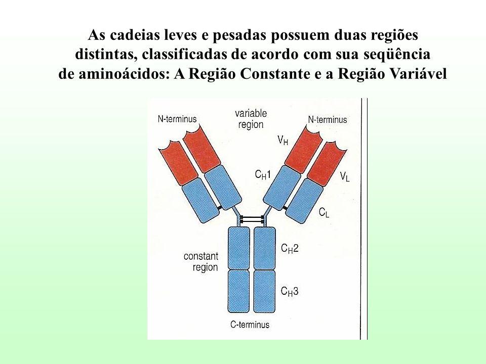 As cadeias leves e pesadas possuem duas regiões