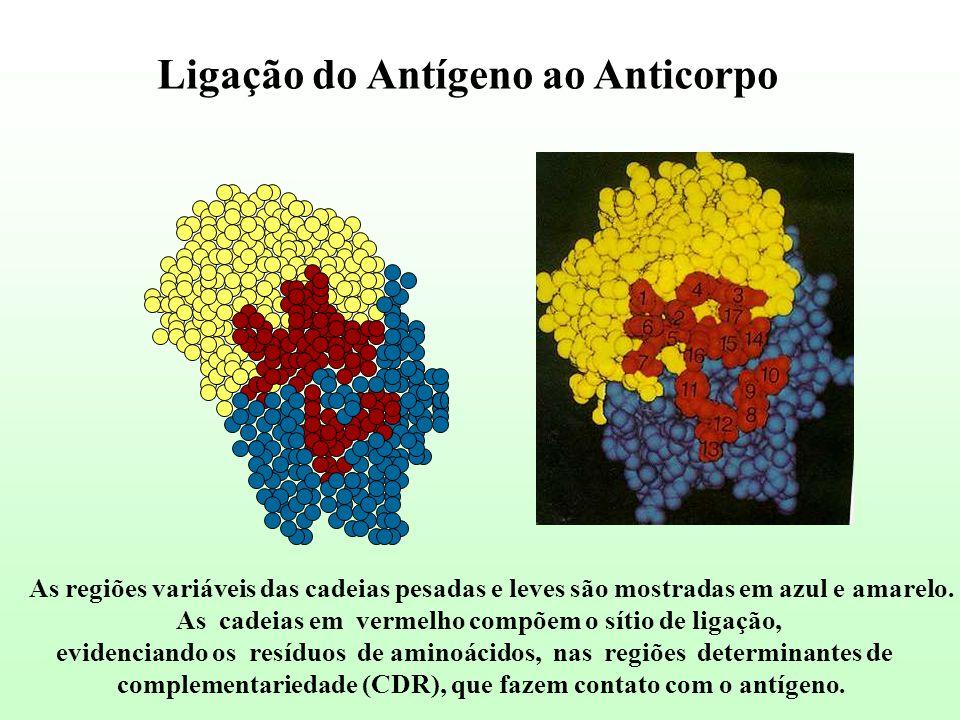 Ligação do Antígeno ao Anticorpo