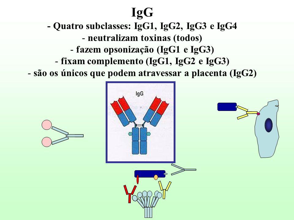IgG - Quatro subclasses: IgG1, IgG2, IgG3 e IgG4