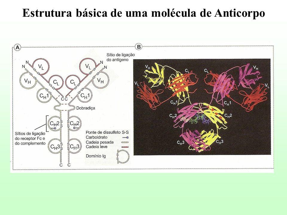 Estrutura básica de uma molécula de Anticorpo