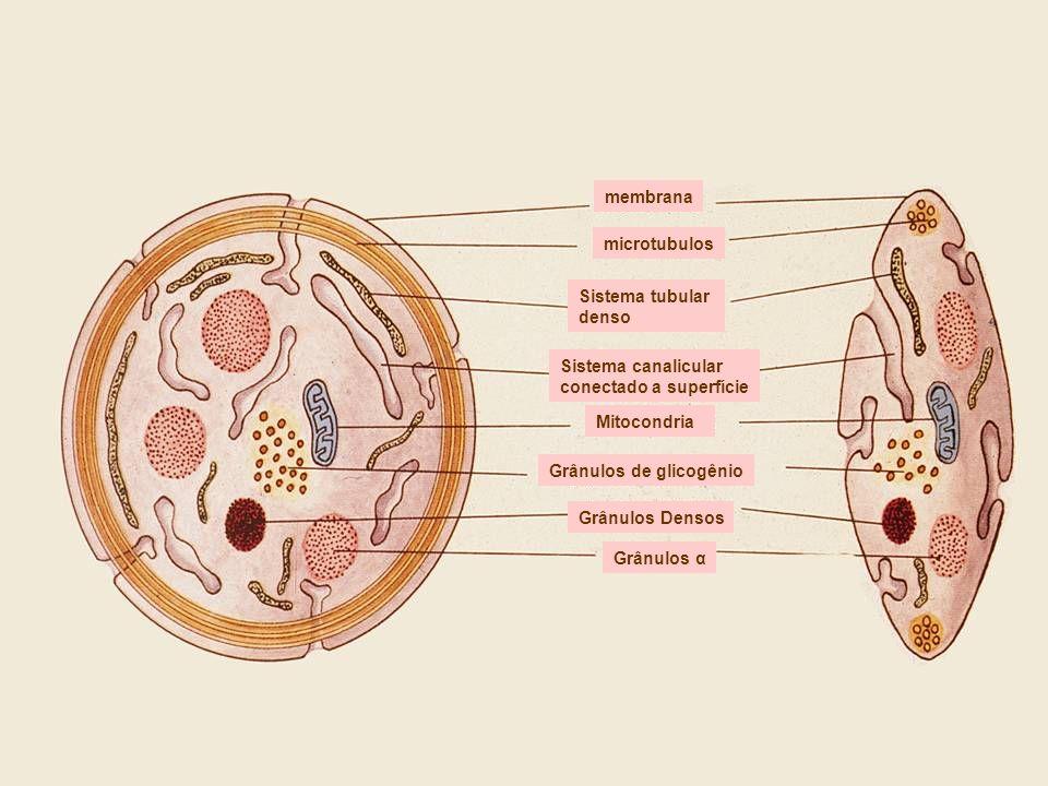 membranamicrotubulos. Sistema tubular. denso. Sistema canalicular. conectado a superfície. Mitocondria.