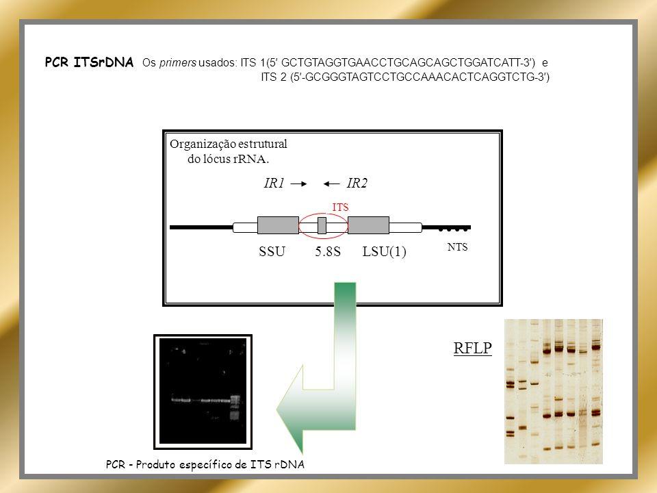 PCR ITSrDNA Os primers usados: ITS 1(5' GCTGTAGGTGAACCTGCAGCAGCTGGATCATT-3') e
