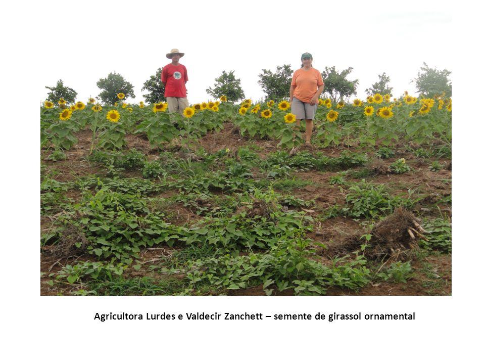 Agricultora Lurdes e Valdecir Zanchett – semente de girassol ornamental