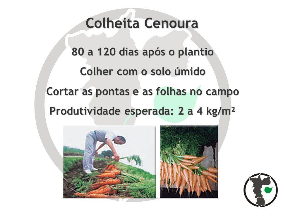 Colheita Cenoura 80 a 120 dias após o plantio Colher com o solo úmido