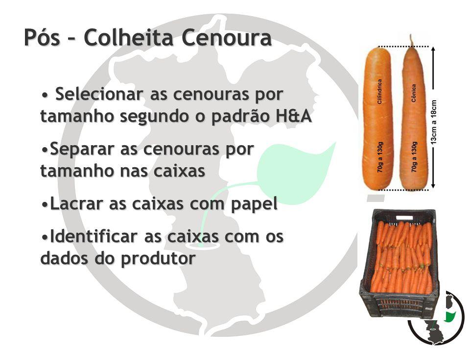 Pós – Colheita Cenoura Selecionar as cenouras por tamanho segundo o padrão H&A. Separar as cenouras por tamanho nas caixas.