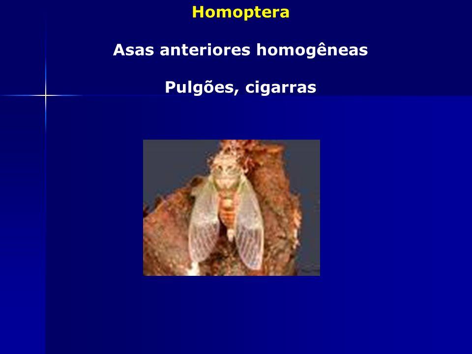 Asas anteriores homogêneas