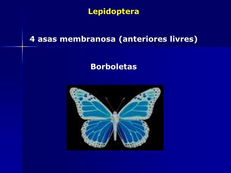 4 asas membranosa (anteriores livres)