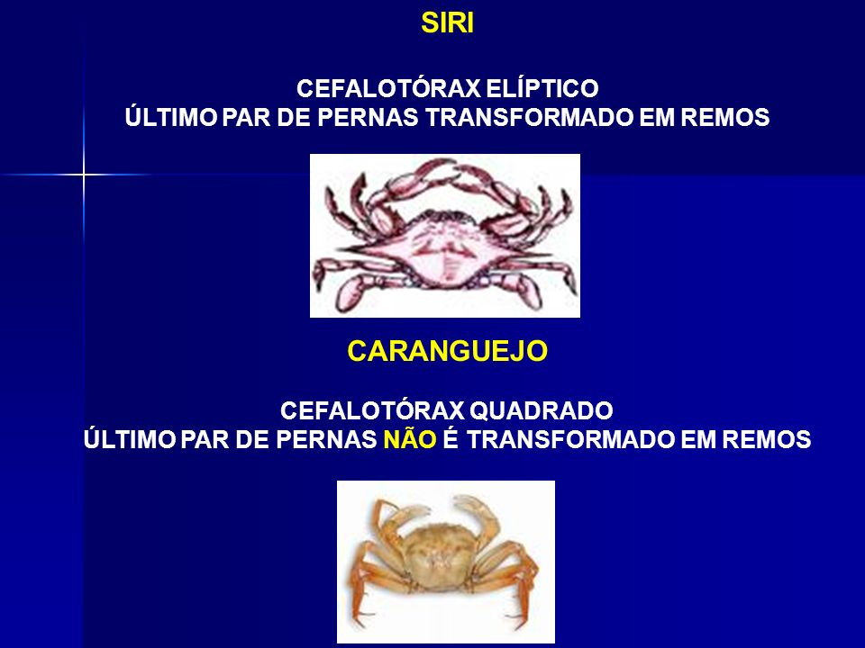 SIRI CARANGUEJO CEFALOTÓRAX ELÍPTICO