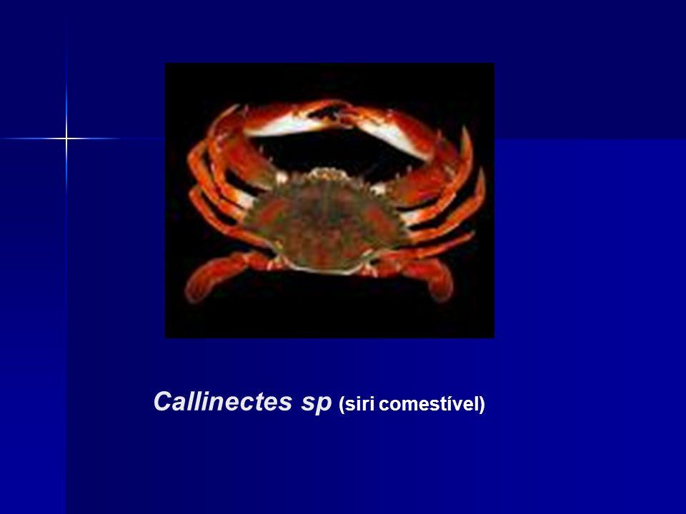 Callinectes sp (siri comestível)