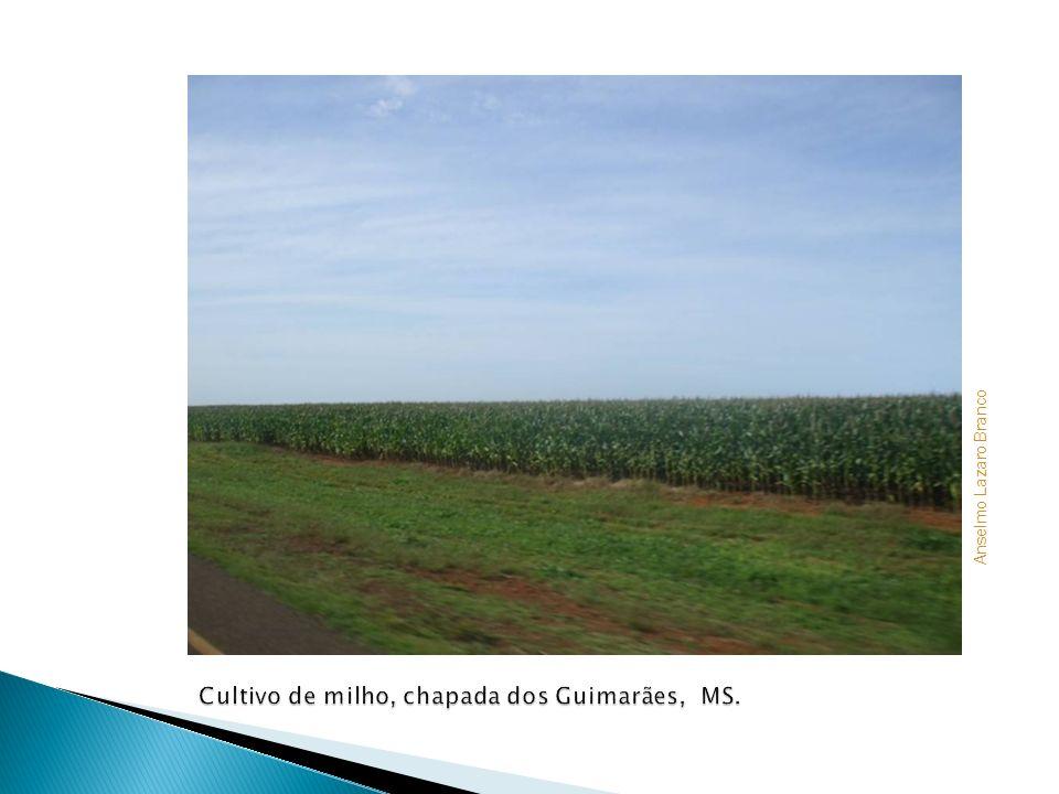 Cultivo de milho, chapada dos Guimarães, MS.