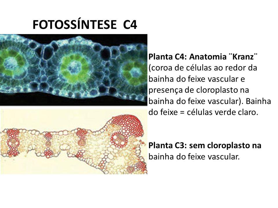 Asombroso Anatomía Kranz En Plantas C4 Imagen - Imágenes de Anatomía ...