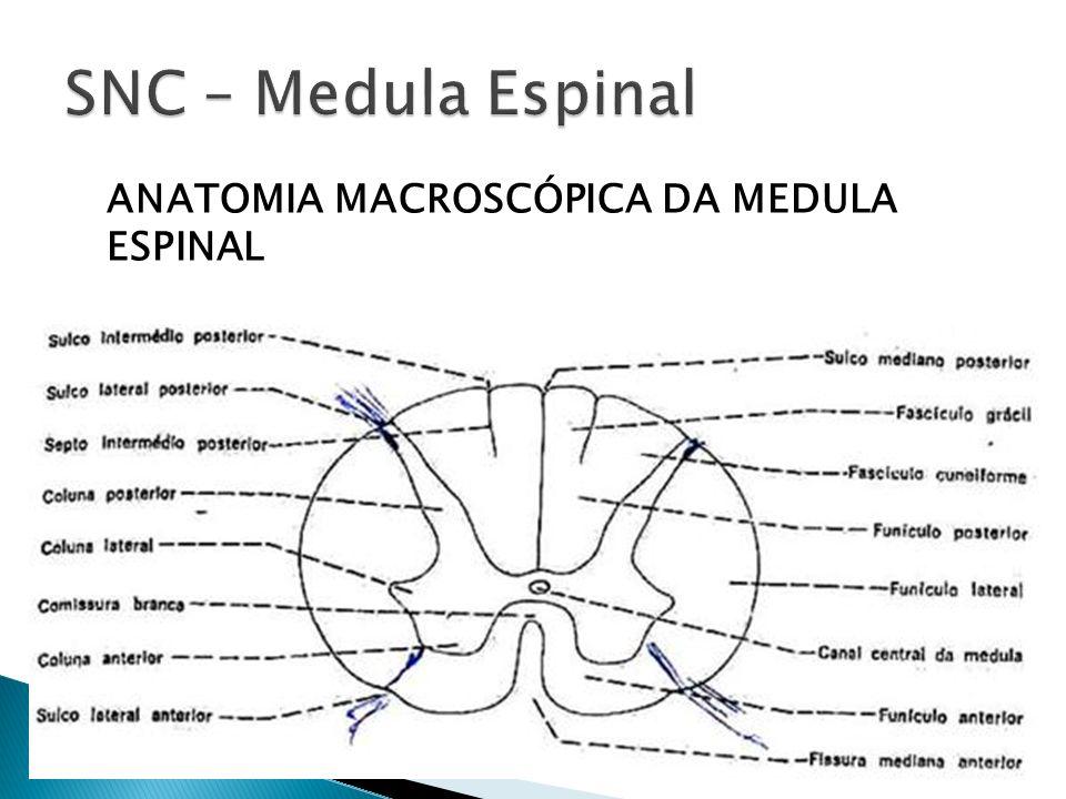 Dorable Anatomía Macroscópica De La Médula Espinal Galería ...