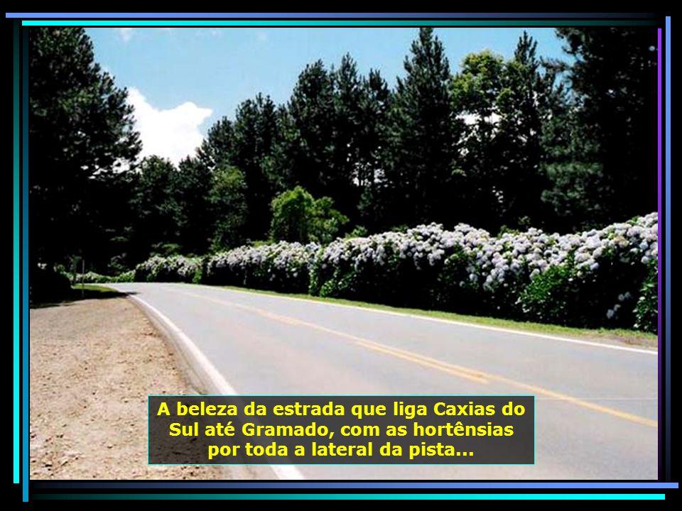 A beleza da estrada que liga Caxias do Sul até Gramado, com as hortênsias por toda a lateral da pista...