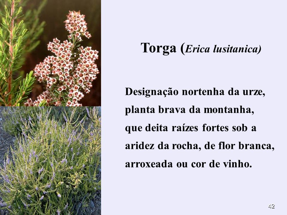 Torga (Erica lusitanica)